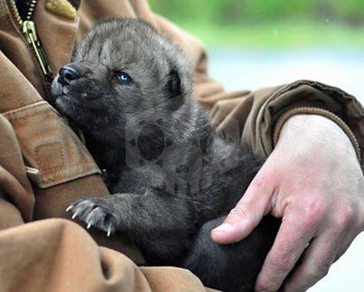 파일:external/wolfpreservation.files.wordpress.com/alaskan-wolf-pup.jpg