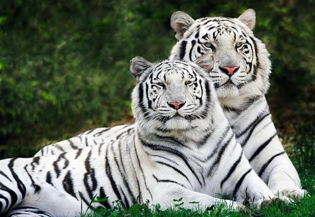 파일:external/www.sciencedump.com/White_tigers.jpg