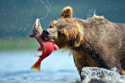 파일:external/hqwallbase.com/a-bear_catching_salmon-1503950.jpg