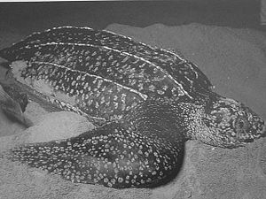 파일:external/upload.wikimedia.org/300px-TortueLuth_Leatherback.jpg