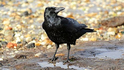 파일:external/upload.wikimedia.org/500px-Corvus_corone_-near_Canford_Cliffs%2C_Poole%2C_England-8.jpg