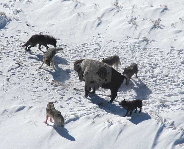 파일:external/upload.wikimedia.org/Canis_lupus_pack_surrounding_Bison.jpg