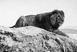 파일:external/upload.wikimedia.org/Barbary_lion.jpg
