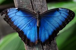 파일:external/upload.wikimedia.org/Blue_Morpho.jpg