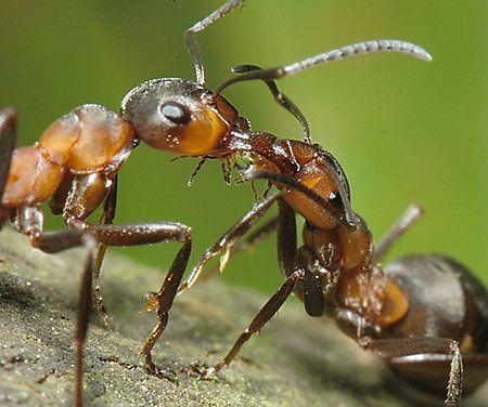 파일:external/influentialpoints.com/Formica_rufa_Southern_Wood_Ants_showing_trophallaxis_with_honeydew_of_Lachnus_pallipes.jpg