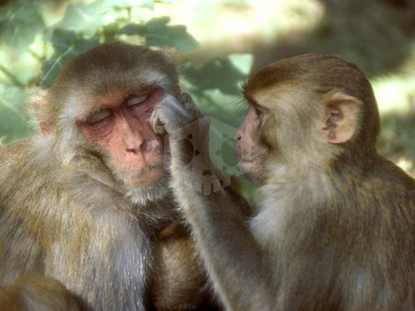 파일:external/newswatch.nationalgeographic.com/rhesus-monkey_685_600x450.jpg