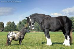 파일:attachment/말(동물)/Shire-vs-Falabella.jpg